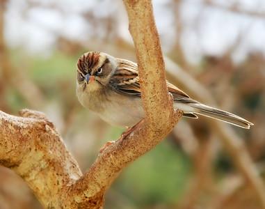 Clay-Colored Sparrow Spizella pallida