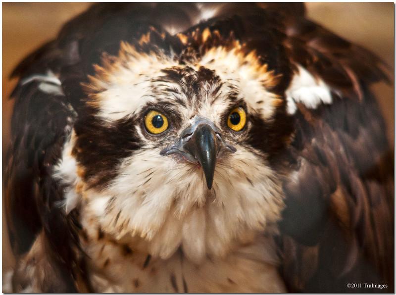 """Oct 30 A suspicious Osprey  For additional raptor bird images, click   <a href=""""http://truimages.smugmug.com/Photography/Carolina-Raptor-Center"""" title=""""Photo & Video Sharing by SmugMug""""><img src=""""http://truimages.smugmug.com/Photography/Carolina-Raptor-Center"""" title=""""Photo & Video Sharing by SmugMug"""" alt=""""Photo & Video Sharing by SmugMug"""">here</a>"""