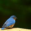 Bluebird Thoughts