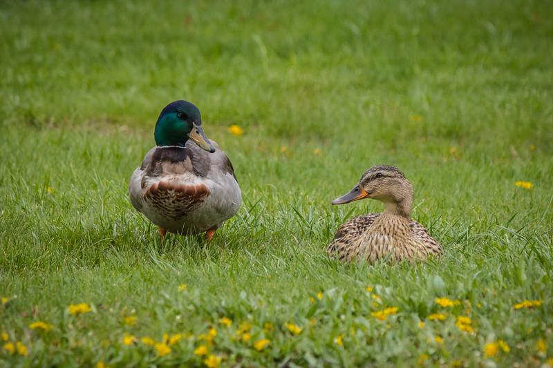 A Couple of Quacks