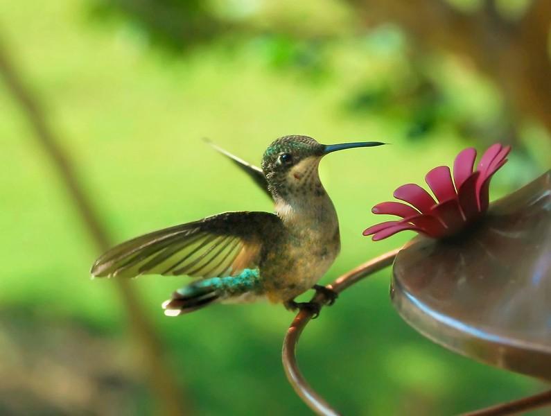 Ruby-Throated Hummingbird immature male