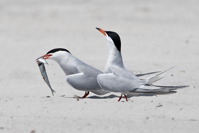 #592 Common Terns.