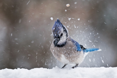 Blue Jay Shakes Off Snow, Toms River, NJ.