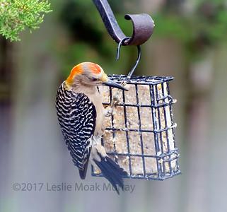 Golden-Fronted-Woodpecker-1633