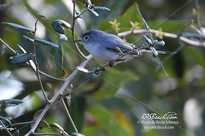 Blue Gray Gnatcatcher_412