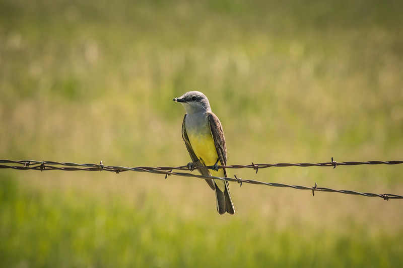Barbed Kingbird