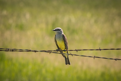 Barbed Kingbird