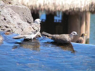 Spotted Dove, Poipu, Kaua'i, HI, aug 21, 2005