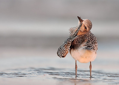 Black-bellied Plover Preening