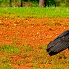 Dec 8<br /> V=Vulture<br /> <br /> Really late upload today.. out of town all weekend. Anyway my contribution to V day challenge is a couple of black vultures lurking roadside!