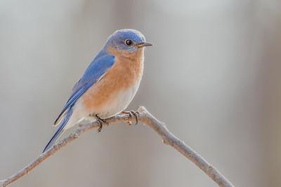 #526 Eastern Bluebird 5406