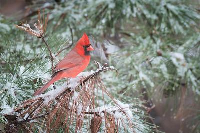 #432 Morning Cardinal