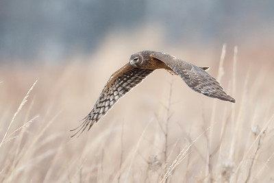#699 Northern Harrier