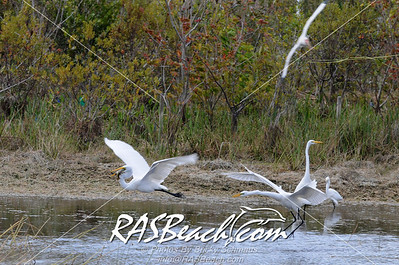 Great White Egret_093