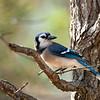 Blue Jay portrait
