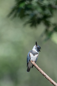 #776 Belted Kingfisher
