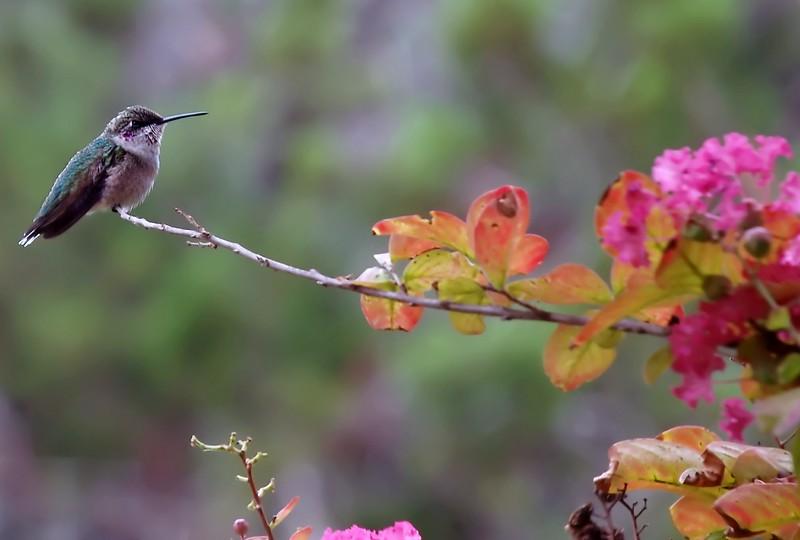 Black-chinned Hummingbird immature male