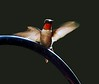 rubythroated hummingbird 530