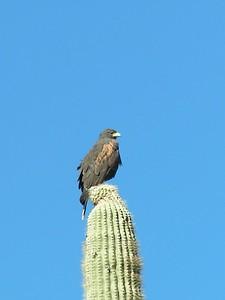 Harris'  Hawk , Saguaro Nat Park, AZ,  dec 8, 2004a
