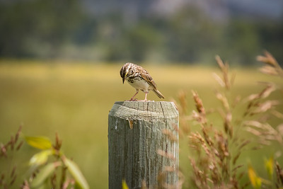 Narcoleptic Sparrow