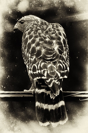 Red Shoulder  Hawk in the Rain