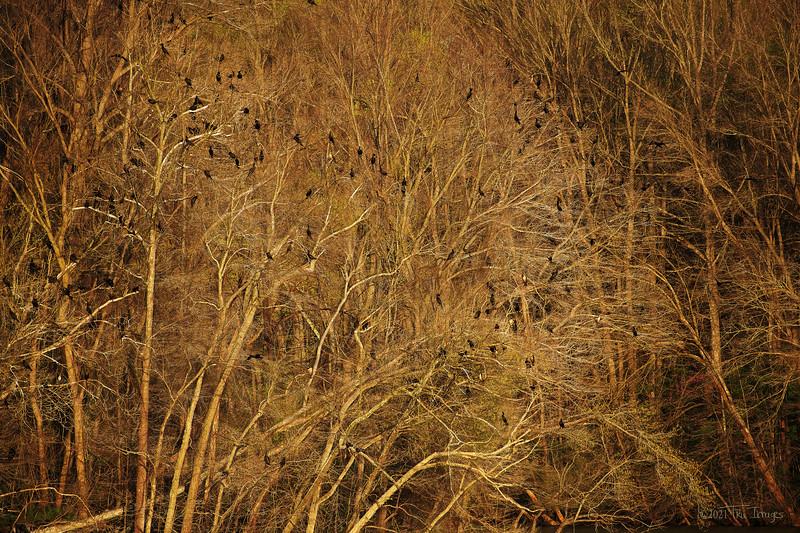 Cormorants Cormorants!