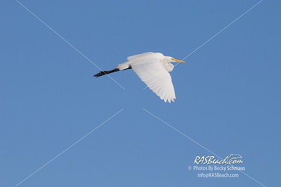 Great White Egret_312
