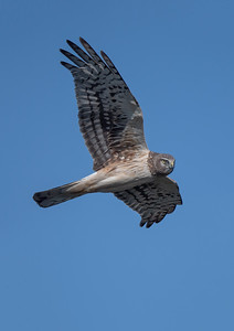 #1582 Northern Harrier