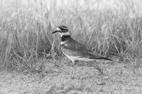 Wide Eyed Killdeer