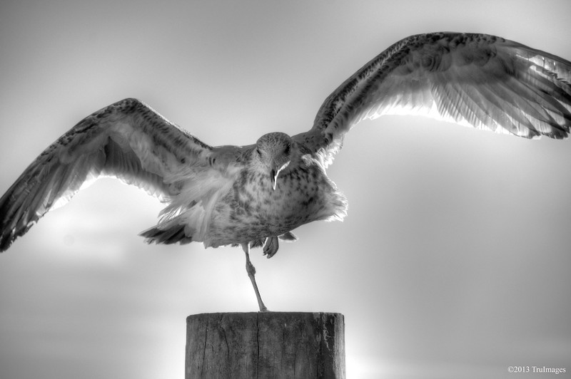 Feb 6<br /> Cover gull!<br /> <br /> A supermodel perhaps?? This seagull seemed really interested in me and my camera! Or maybe it was just hungry! I thought it might be more interesting in b&w. I also kept it a bit soft on purpose to give the wings a more angel-like appearance!<br /> <br /> Thanks for viewing and commenting!!