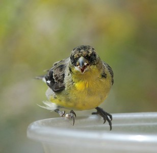 Lesser Goldfinch Moulting