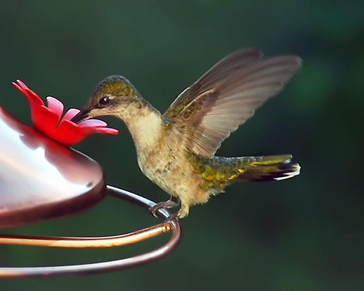Blackchinned Hummingbird  female