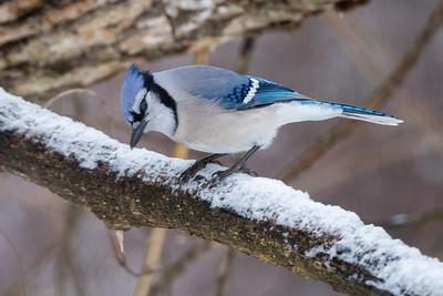 #1555 Blue Jay