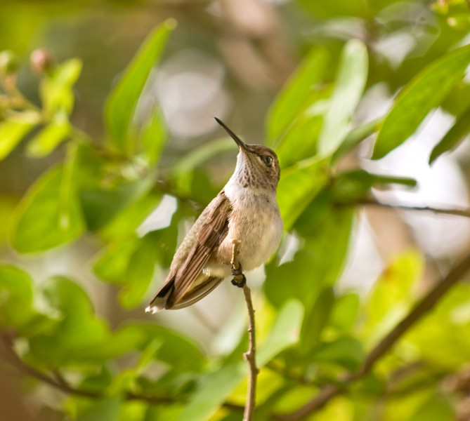 Black-Chinned Hummingbird Archilochus alexandri imm male