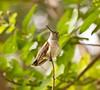 Black-Chinned Hummingbird  Archilochus alexandri imm male D80 280 078