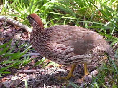 Erckle's Francolin, Alakai Swamp, Kaua'i, HI, aug 22, 2005s