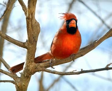 Cardinal Male on a windy day
