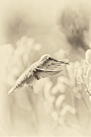 Hunmmingbird in Light Sepia