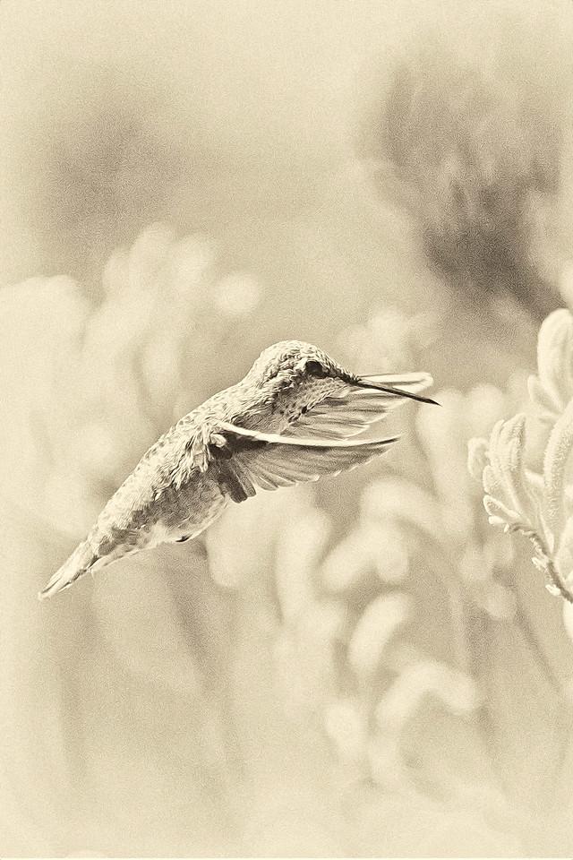 Hunmmingbird in Light Sepia