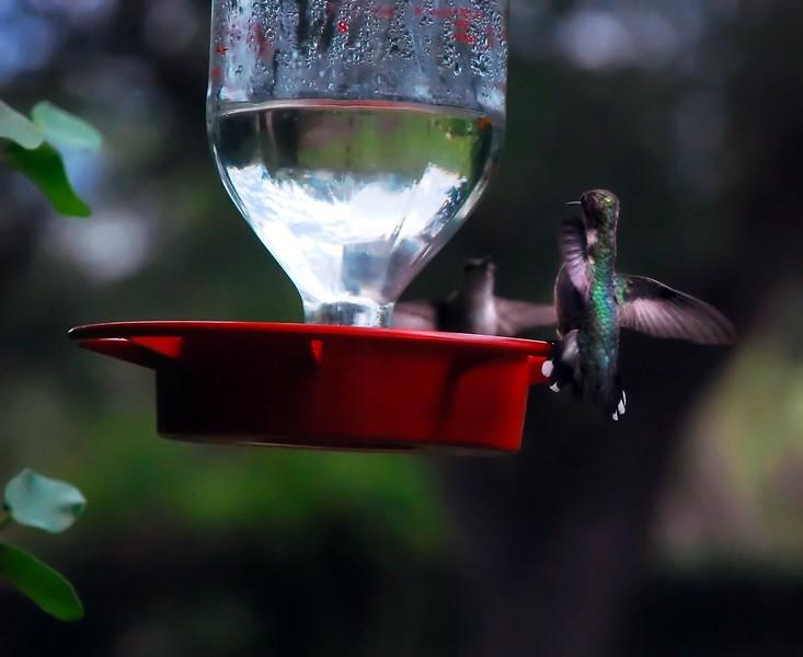 BLACK-CHINNED HUMMINGBIRDS juv males