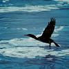 Dec 10<br /> <br /> A cormorant taking flight