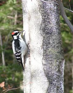 522 hairy woodpecker-3, nov 8, 2003a,  SLHS, Saranac Lake, NY