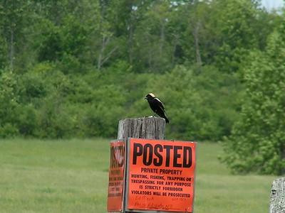 873, bobolink, Macky Rd, Perch River WMA, NY, may 31, 2004