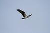_MG_8129 osprey © bob wilson 2010