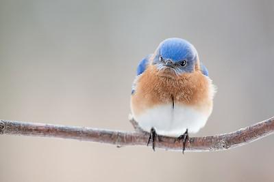 #533 Angry Bluebird adj