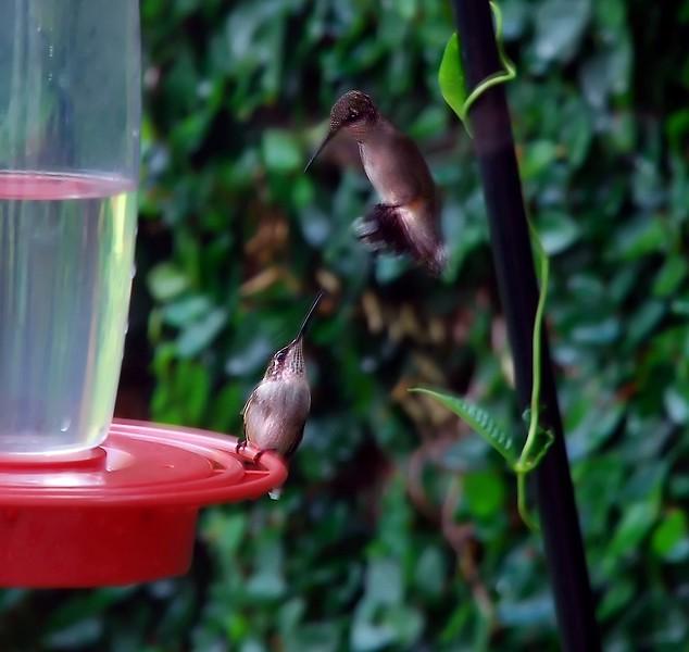 BLACKCHINNED HUMMINGBIRDS juv males