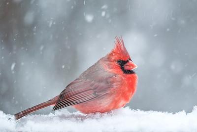#149 Winter Cardinal, Toms River, NJ.