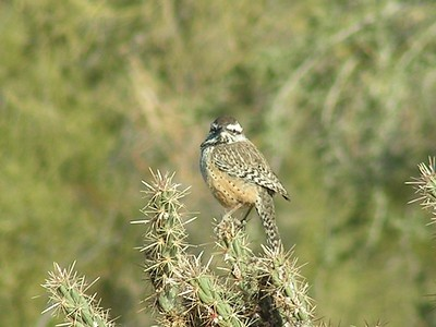 cactus wren Phoenix, AZ  jennys wash, ahwatookee, AZ