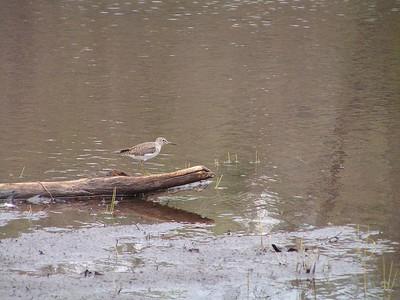 solitary sandpiper, Saranac Lake HS Pond, Saranac Lake, NY, may 16, 2005f