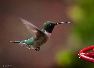 Ruby-throated Male Hummingbird